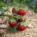 Când și cum se mulge corect căpșunile, cu atât mai bine