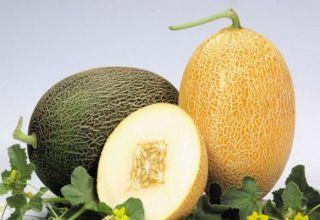 Beschrijving van de meloenvariëteit Caramel, kenmerken van teelt en verzorging