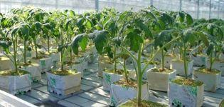 Grundregeln für den Anbau von Tomaten mit niederländischer Technologie