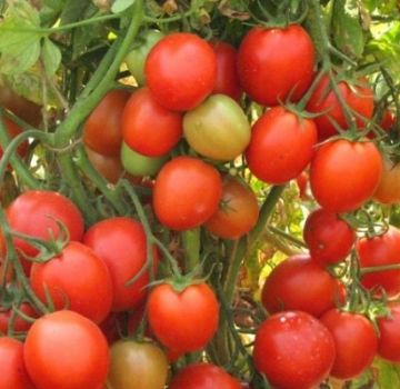 Descrierea soiului de tomate Scarlet fregata f1, caracteristicile și randamentul acesteia