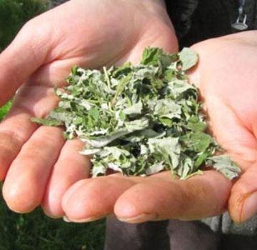 Πότε μπορείτε να συλλέξετε φύλλα βατόμουρου για ξήρανση για το χειμώνα, τους όρους και τους κανόνες και πού να αποθηκεύσετε