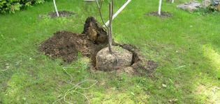 Πώς να καλλιεργήσετε σωστά τα κεράσια στον κήπο, την επιλογή των δενδρυλλίων και των τόπων, φροντίδα