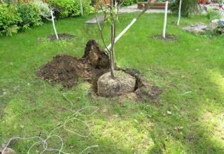 A cseresznye megfelelő termesztése a kertben, palánták és helyek kiválasztása, gondozás