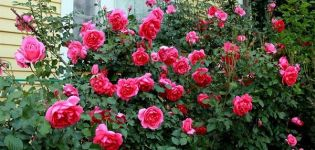 Descrierea și caracteristicile trandafirilor de escaladă din soiul Parade, reguli de creștere
