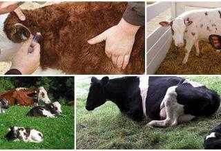 Simptomele criptosporidiozei la viței, căilor de infecție și metodelor de tratament pentru bovine