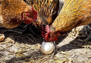 Où sont les protéines et comment donner correctement des protéines aux poulets