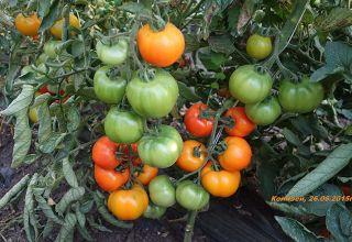Charakteristiky a popis semien paradajky autora od šľachtiteľa Myaziny
