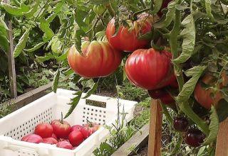Cele mai bune, dulci și productive soiuri de roșii cu fructe mari
