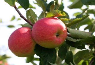 Caracteristici, descriere și regiuni ale pomilor în creștere din soiul Snezhny Kalvil