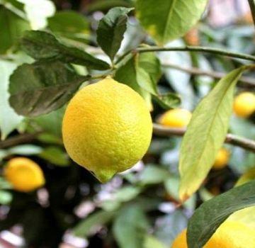 Description du citron Novogruzinsky, règles de plantation et d'entretien à la maison