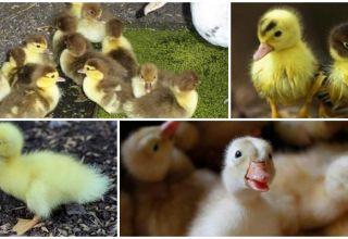Prečo kačice jesť zle a nerastú, dôvody a čo robiť
