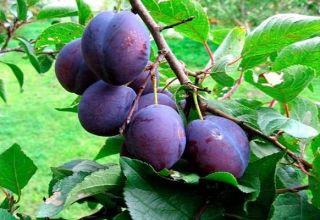 Descrierea și caracteristicile soiului de prune, plantare, cultivare și îngrijire