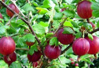 Descripción y características de la variedad de grosella espinosa Kolobok, plantación y cuidado.