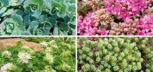 Beschrijving van variëteiten en soorten muurpeper (sedum) bloem, planten en verzorgen in het open veld