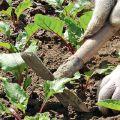 Secretos y técnicas agrícolas paso a paso para cultivar y cuidar la remolacha en campo abierto.