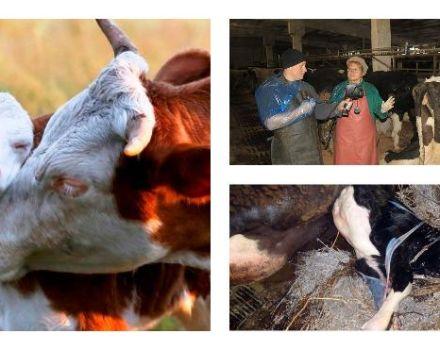 Signos de comerse la placenta de una vaca después del parto, tratamiento y consecuencias