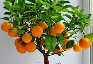 Cómo cultivar y cuidar mandarinas en casa.