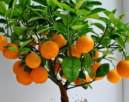 Comment cultiver et entretenir les mandarines à la maison