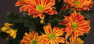 Funkcie a popis Jordiho kríkov chryzantémy, výsadba a starostlivosť