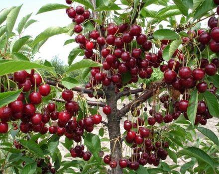 Lehet-e otthon cseresznyét kőből termeszteni, és hogyan lehet gondozni a palántát?