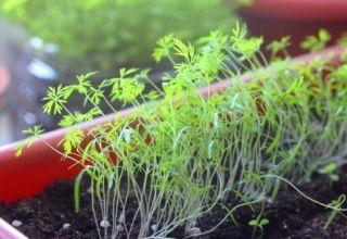 Kako pravilno uzgajati kopar na prozorskoj dasci zimi kod kuće