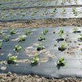 Lajikkeita rikkakasvien torjuntaa varten ja miten sitä käytetään oikein
