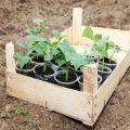 Wanneer komkommers in de volle grond te planten in 2020 volgens de maankalender