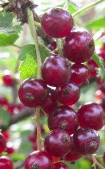 Descrierea și caracteristicile coacăzului Viksne, regulile de plantare și îngrijire