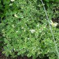 Opis odrody mätovej ananásu variegata, výsadby a starostlivosti o rastliny