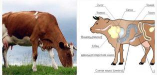 Cauzele și simptomele obstrucției esofagului la bovine, modul de tratare