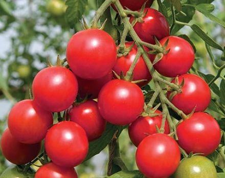 Características y descripción de la variedad de tomate Shalun, su rendimiento.