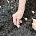 Când să plantăm usturoi conform calendarului lunar în 2020, zile favorabile