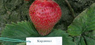 Descrierea și caracteristicile soiului Cardinal de căpșuni, plantare și îngrijire