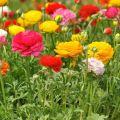 Sadnja i briga o vrtnim leptirima na otvorenom terenu, uzgoju i skladištenju