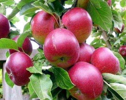 Ce meri sunt mai bine să plantați într-o casă de țară din regiunea Moscova, descrierea și caracteristicile soiurilor