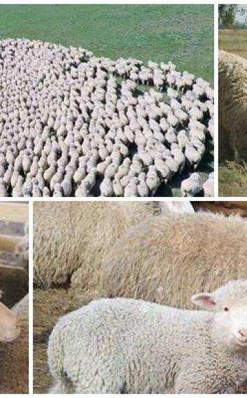 Karakteristike volgogradske pasmine ovaca, prednosti i nedostaci i uzgoj