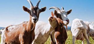 Hogyan lehet meghatározni a kecskékben a vitaminhiányt, mikor kell beadni és az adagokat