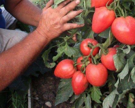 Descripción de la variedad de tomate Bonaparte, sus características y cultivo