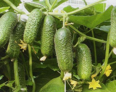 Descripción de la variedad de pepino Kibriya, características de cultivo.