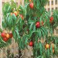 ¿Cómo se puede cultivar nectarina a partir de una semilla en casa?