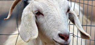 Miért remeg a kecske, milyen remegések vannak, és mit kell csinálni otthon?