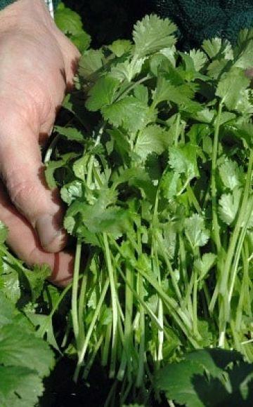 Descripción de las mejores variedades de cilantro (cilantro), propiedades útiles y cultivo.