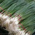 Milyen hagymamag-fajtákat lehet a legjobban ültetni a tollak zöldekre kényszerítésére