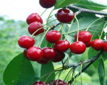 Opis a charakteristika odrody čerešne Bystrinka, história, výsadba a starostlivosť o rastliny