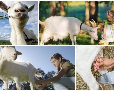 ¿Cuánta leche da una cabra en promedio por día, día y año?