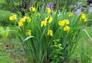 Beschrijving van irisvariëteiten, planten, teelt, zorg in het open veld