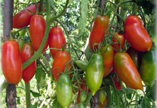 Description et caractéristiques de la variété de tomate française grappe, son rendement