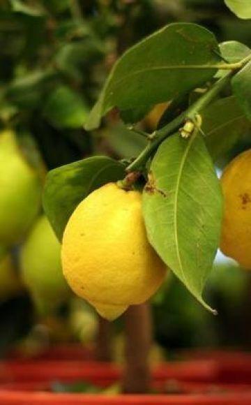 Description du type de citron néo-zélandais, culture et soins à domicile