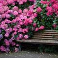 A Katevbinsky rododendron fajok leírása, az ültetési és gondozási szabályok