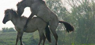Cómo se inseminan los caballos y sus beneficios, embarazo y parto